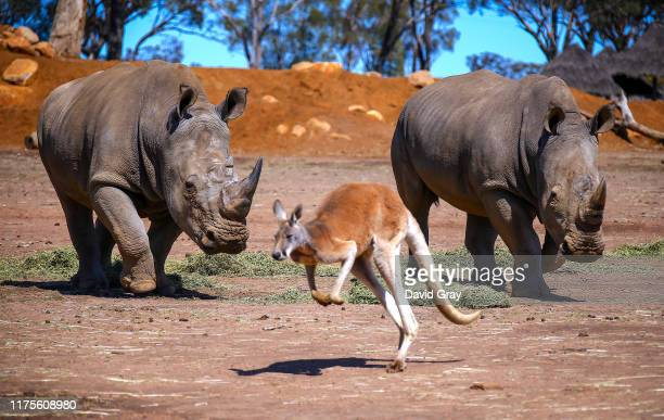 A kangaroo hops away from a pair of White Rhinos as they eat hay at Taronga Western Plains Zoo on September 18 2019 located in Dubbo Australia Due to...