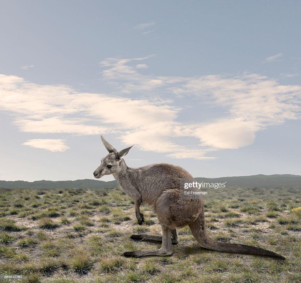 Kangaroo in Naturalistic Setting : Stock Photo