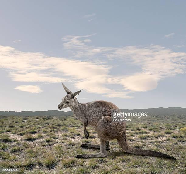 Kangaroo in Naturalistic Setting