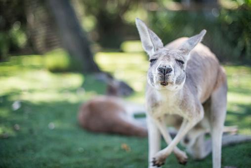 Kangaroo in the wild 659111780