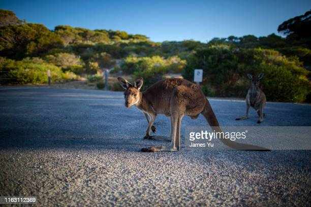 kangaroo innes national park - south australia stock photos and pictures