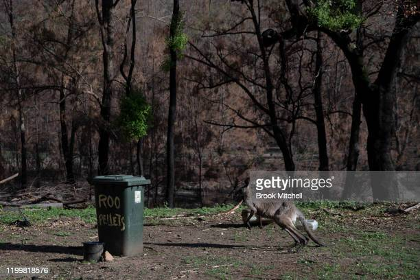 A kangaroo is pictured on January 14 2020 in Wytaliba Australia On the afternoon of November 8 firestorms ripped through the small communities of...