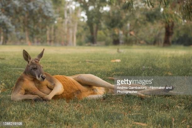 """a kangaroo is relaxing in a """"sexy"""" pose in a field - marsupial stock pictures, royalty-free photos & images"""