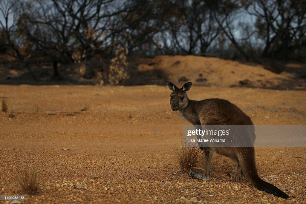 Kangaroo Island Farmers Count Livestock Losses As Bushfires Continue To Burn : News Photo