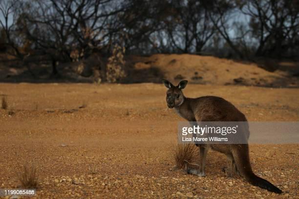 Kangaroo is seen at the edge of the bushfire damaged Flinders Chase National Park on January 12, 2020 on Kangaroo Island, Australia. Over 100,000...