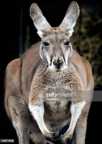 A kangaroo is seen at Toronga Zoo in Sydney Australia on Tuesday Oct 14 2008 The kangaroo epitomizes Australia appearing on the coat of arms and...