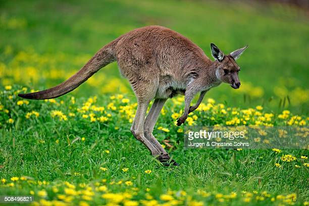 Kangaroo Island Kangaroo -Macropus fuliginosus fuliginosus-, adult, jumping, South Australia, Australia