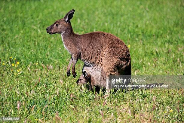 Kangaroo Island Kangaroo, (Macropus fuliginosus)