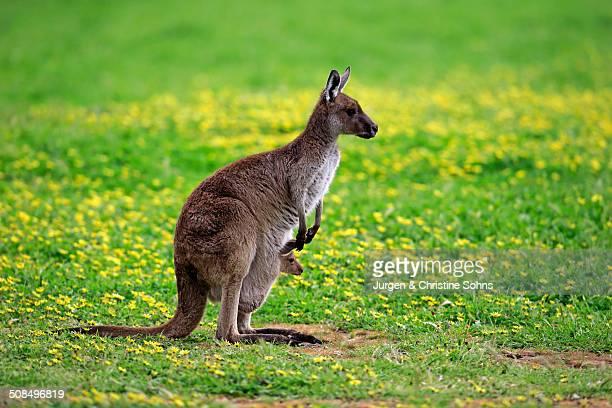 Kangaroo Island Kangaroos -Macropus fuliginosus fuliginosus-, female with joey in the pouch, South Australia, Australia