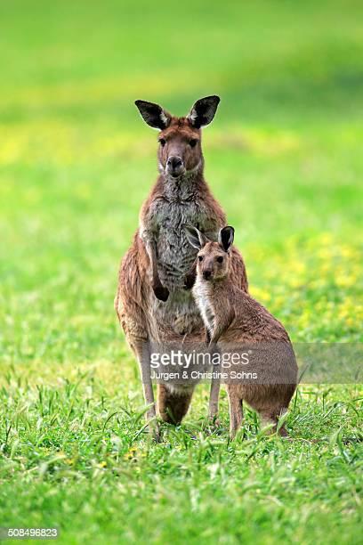 Kangaroo Island Kangaroos -Macropus fuliginosus fuliginosus-, female with joey, South Australia, Australia
