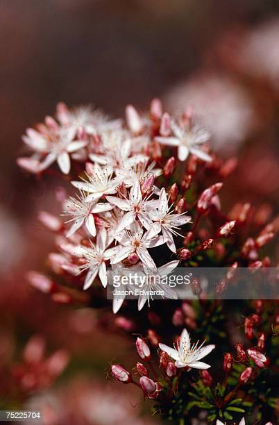 Bright pink native Wildflowers with white petals on a coastal cliff.