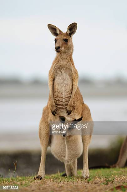 & filhote de canguru - marsupial imagens e fotografias de stock