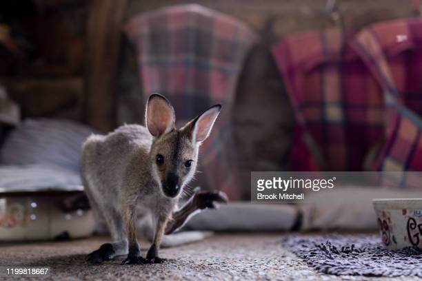 A kangaroo joey who is under the care of Wytaliba residents and wildlife carers Julie Willis and Gary Wilson is pictured on January 14 2020 in...