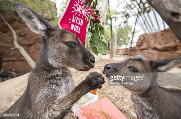 Kangaroo joeys Dot and Matilda enjoying some Christmas treats at Wild Life Sydney Zoo on December 23 2016 in Sydney Australia Together with the...