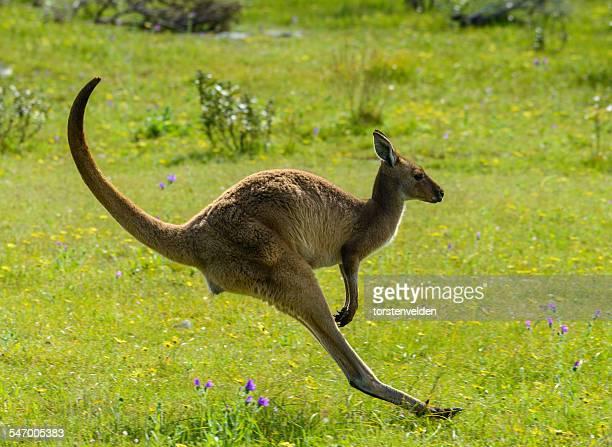 Kangaroo jumping, Coffin Bay, Eyre Peninsula, Australia