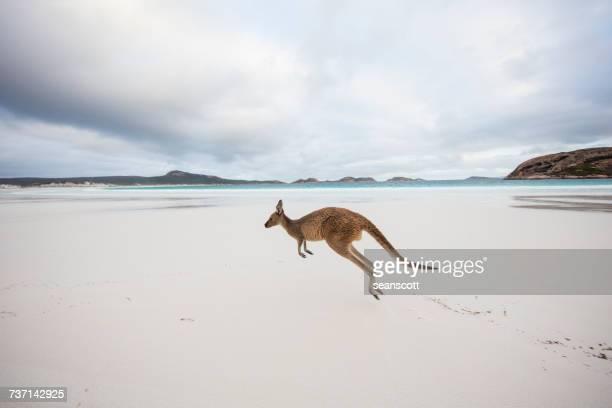 Kangaroo jumping on beach, Lucky Bay, Esperance, Western Australia, Australia