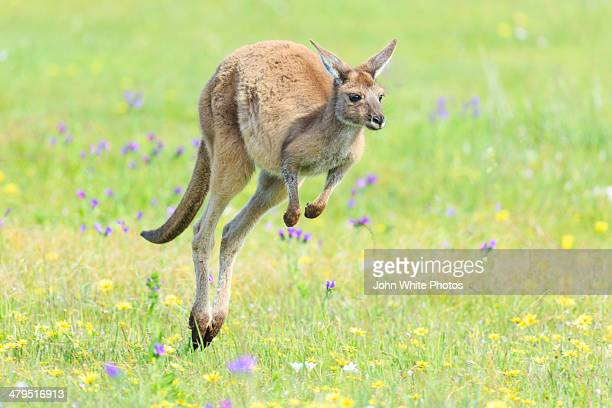 Kangaroo jumping over green grass. Australia.