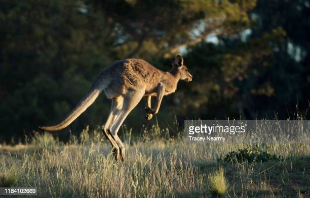 Kangaroo jumps across a golf course in Canberra on October 28, 2019 in Canberra, Australia.