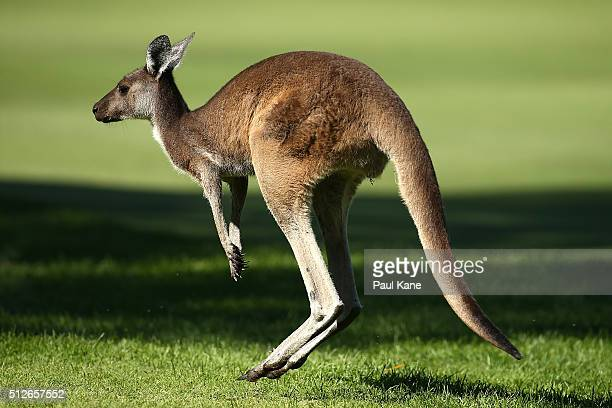 A kangaroo jumps across the 16th fairway during day three of the 2016 Perth International at Karrinyup GC on February 27 2016 in Perth Australia