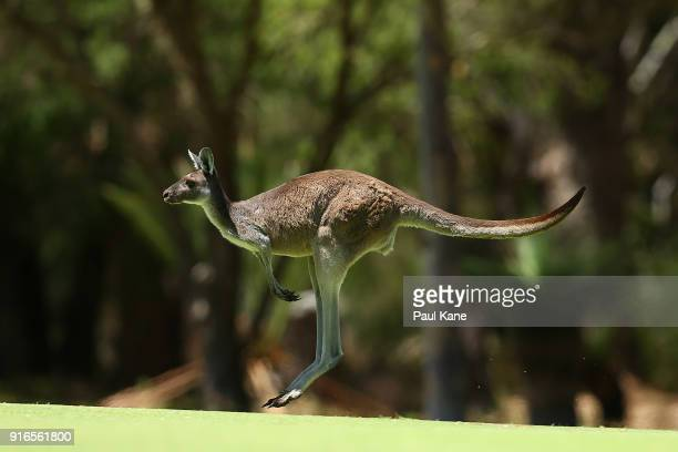 A kangaroo jumps across the 4th fairway during day three of the World Super 6 at Lake Karrinyup Country Club on February 10 2018 in Perth Australia