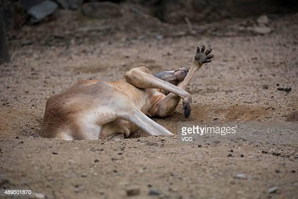 A kangaroo lies in the hole dug by itself in Hangzhou Zoo on September 21 2015 in Hangzhou Zhejiang Province of China