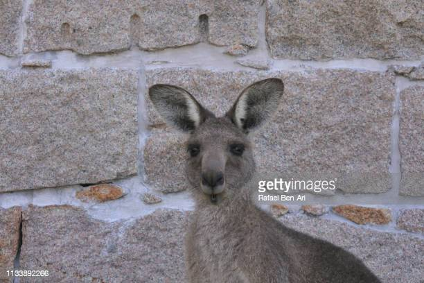 kangaroo looking at camera new south wales australia - rafael ben ari stock pictures, royalty-free photos & images