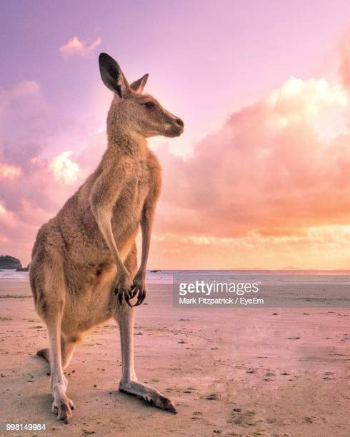 kangaroo looking away while standing at beach against sky during sunset - kangaroo stock pictures, royalty-free photos & images
