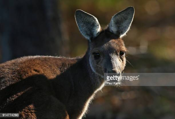 A kangaroo looks on from the side of a fairway as players play practice rounds ahead of the 2018 ISPS HANDA World Super 6 at Lake Karrinyup Country...