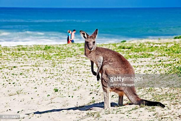 kangaroo on beach, australia - batemans bay stock pictures, royalty-free photos & images