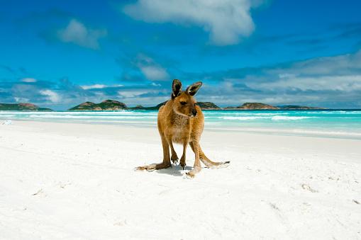 Kangaroo on Lucky Bay 941264046