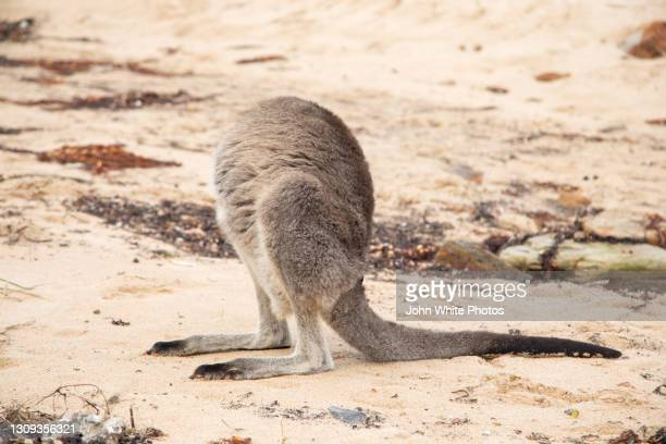 a kangaroo on pebbly beach. appears headless while scratching itself. new south wales. australia. - batemans bay stock pictures, royalty-free photos & images