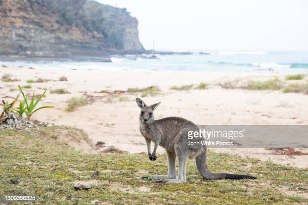 a kangaroo on pebbly beach. new south wales. australia. - batemans bay stock pictures, royalty-free photos & images