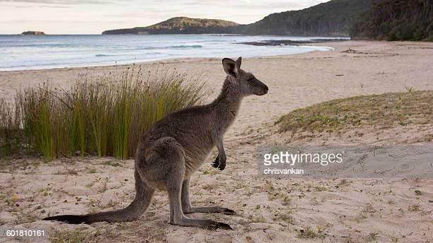 Kangaroo on Pebbly Beach, New South Wales, Australia