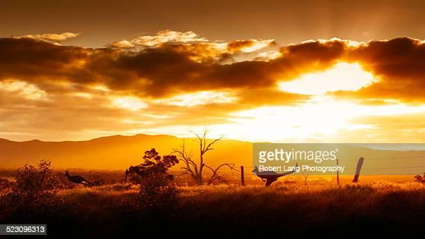 Kangaroo on sunset, Australia