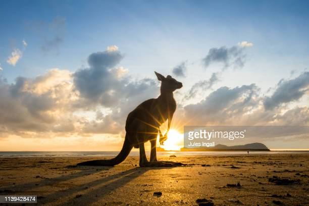 kangaroo on the beach at sunrise - queensland stock-fotos und bilder
