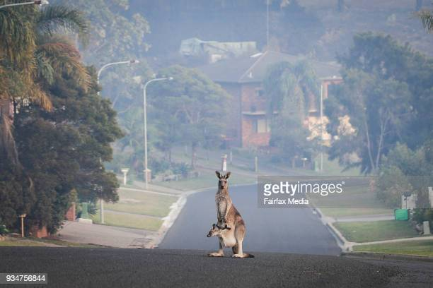A Kangaroo on the empty street of Wildlife Drive in Tathra following the bushfire on the NSW south coast on Tuesday 20 March 2018