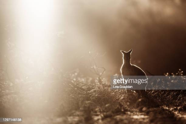 kangaroo outline - perth australia stock pictures, royalty-free photos & images