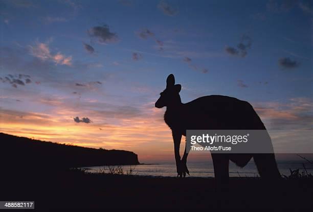 kangaroo - en:public_domain stock pictures, royalty-free photos & images
