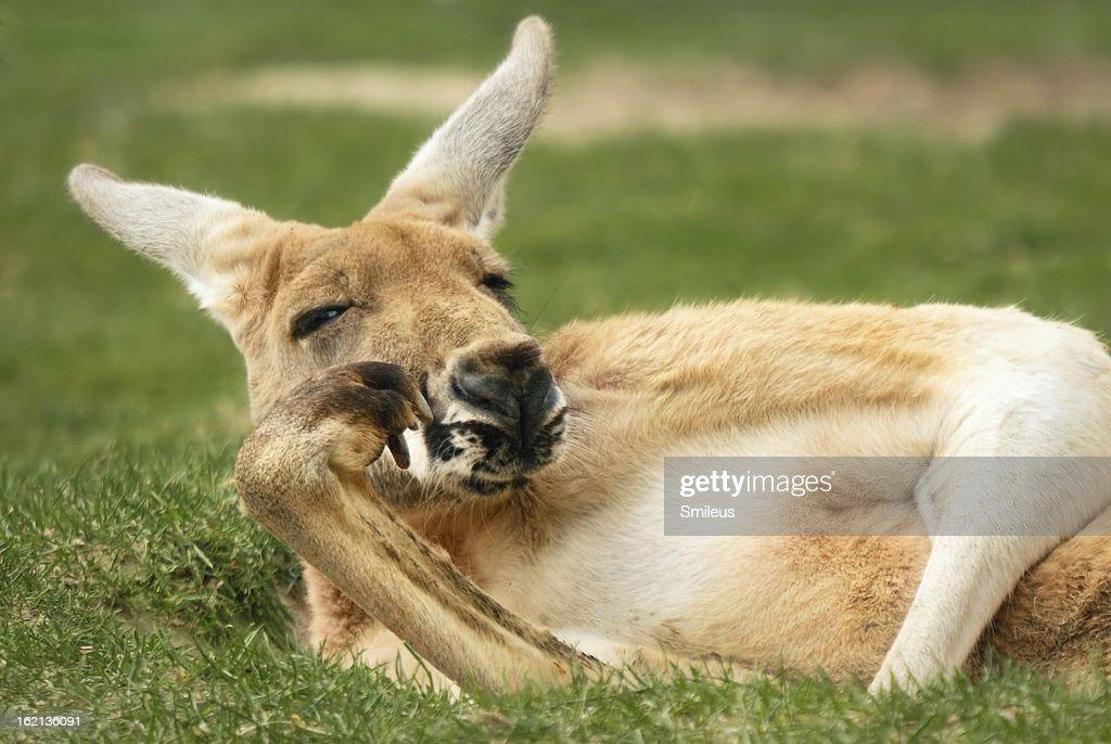 Kangaroo posing very much like a human : Stock Photo