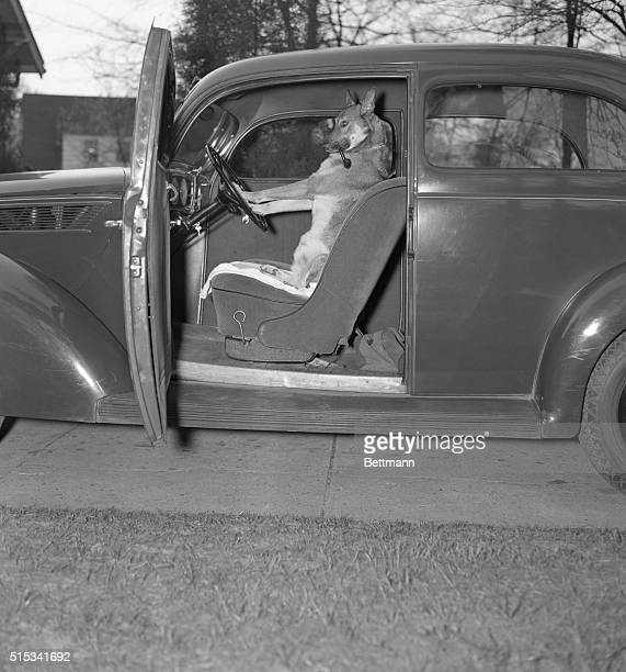 Kangaroo sitting inside of car smoking pipe