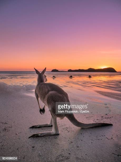 kangaroo standing at beach against sky during sunset - kangaroo stock pictures, royalty-free photos & images