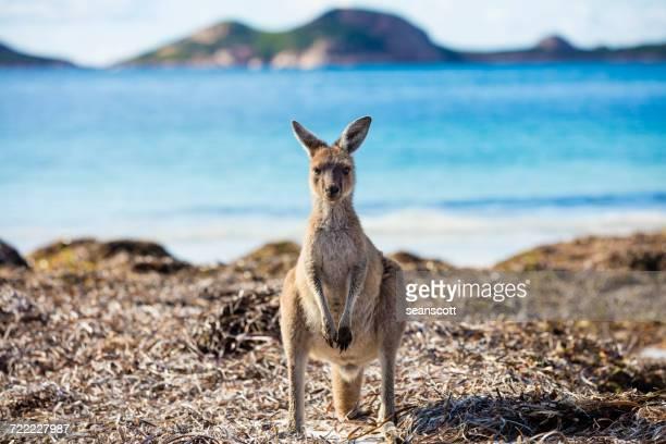 Kangaroo standing on the beach, Western Australia, Australia