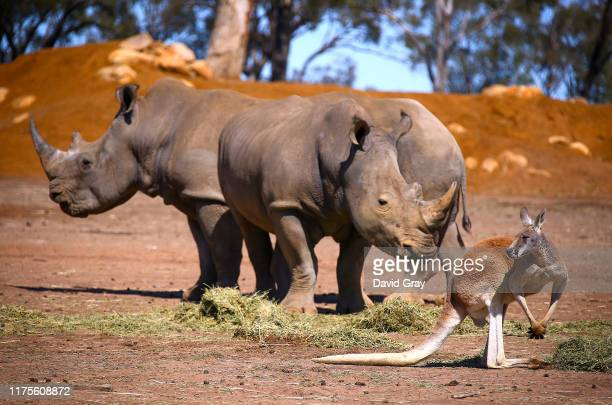 Kangaroo stands next to a pair of White Rhinos as they eat hay at Taronga Western Plains Zoo on September 18, 2019 located in Dubbo, Australia. Due...