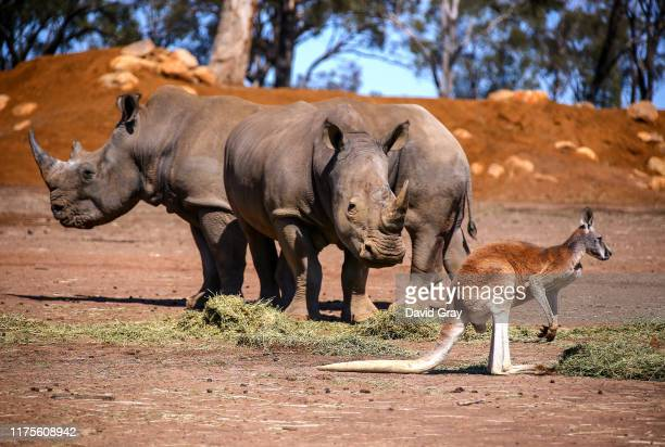 A kangaroo stands next to a pair of White Rhinos as they eat hay at Taronga Western Plains Zoo on September 18 2019 located in Dubbo Australia Due to...