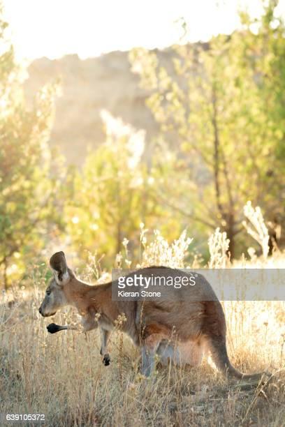 Kangaroo sunlight