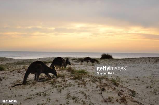 kangaroo sunrise - reid,_wisconsin stock pictures, royalty-free photos & images