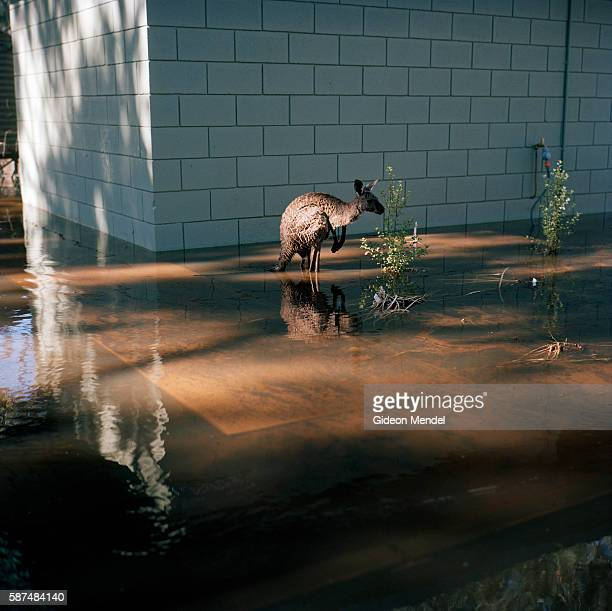 A kangaroo takes refuge from rising floodwaters in the toilet of a zoo on the flooded Yarriambiack Creek When I reached the nine kangaroos that...