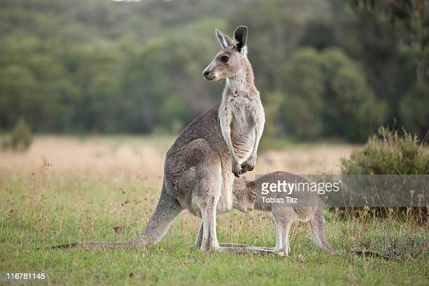 A kangaroo with a baby looking in her pouch