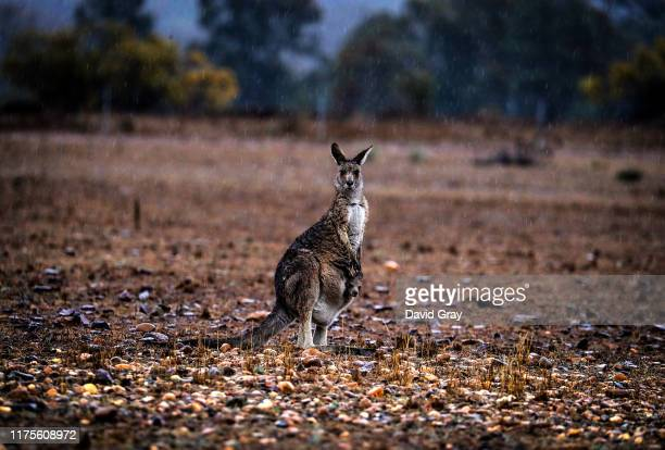 A kangaroo with a joey in her pouch stands in a droughtaffected paddock as rain falls on September 17 2019 on the outskirts of Dubbo Australia...