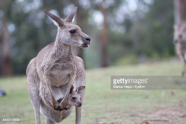 kangaroo with baby in pouch on field - kangaroo stock pictures, royalty-free photos & images